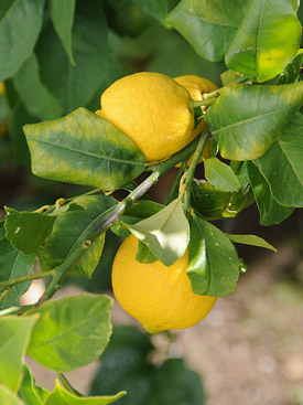 Pick your own lemons for your G&T